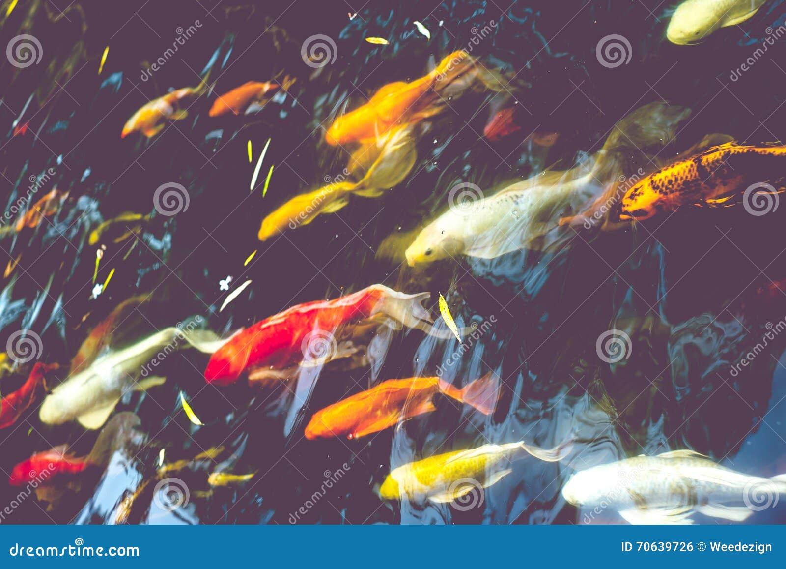 Vissen In Vijver : De menigte van koi vissen in vijver kleurrijke natuurlijke