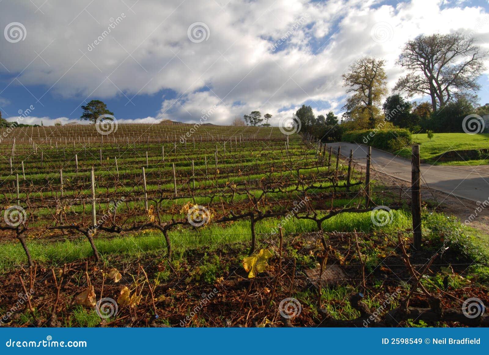 De Mening van de Wijnstok van de kaap