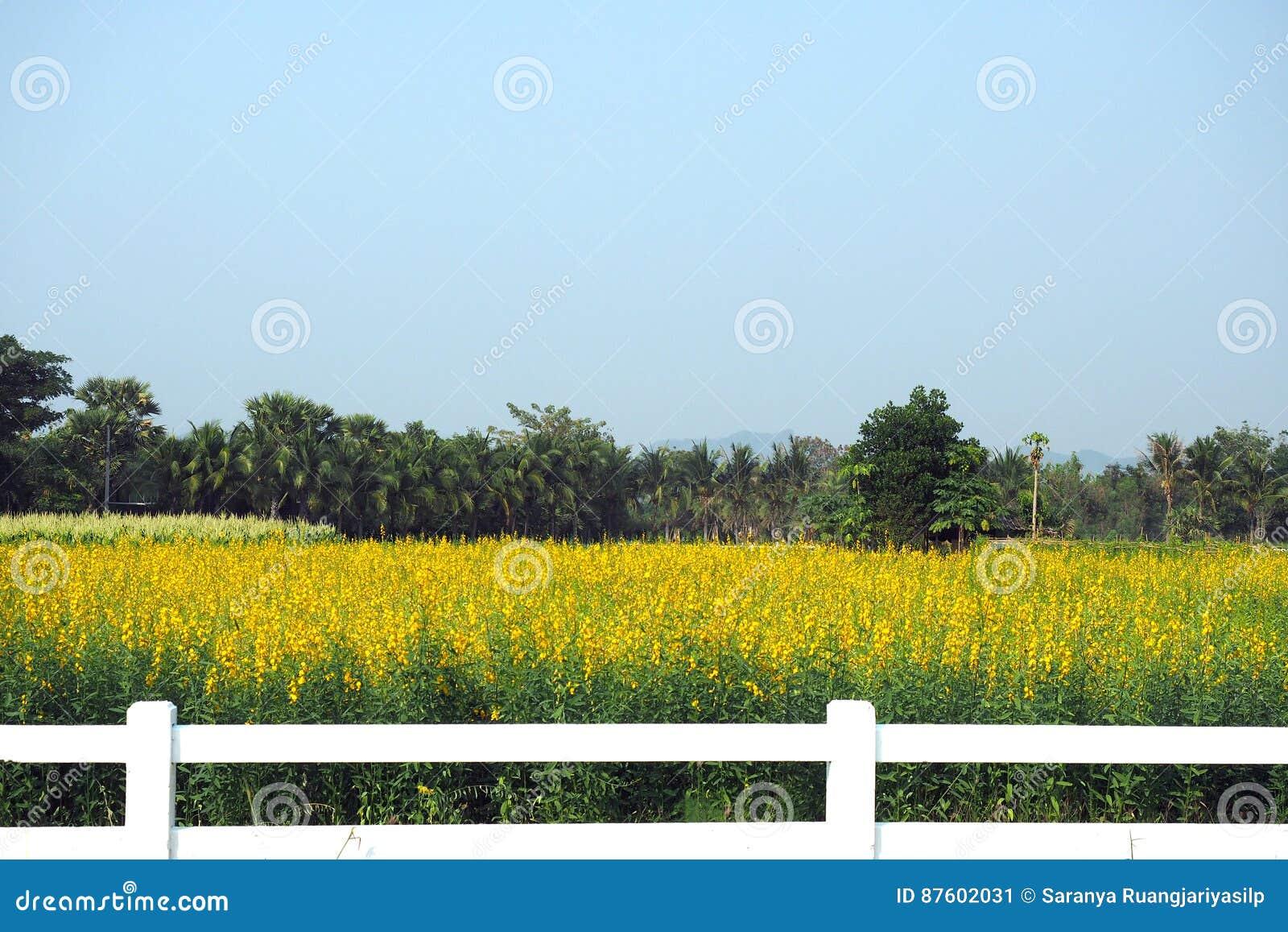De mening van het landschapslandschap van gele sunhemp bloeit