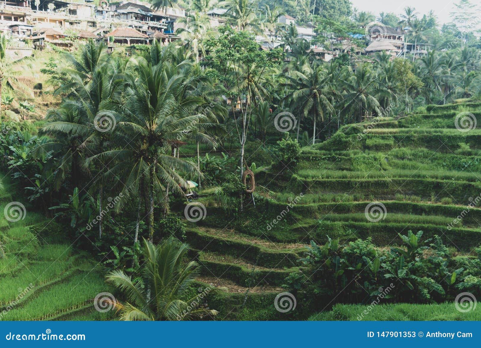 De mening van de ochtendmist van Tegallalang-Rijstterras in Bali, Indonesië