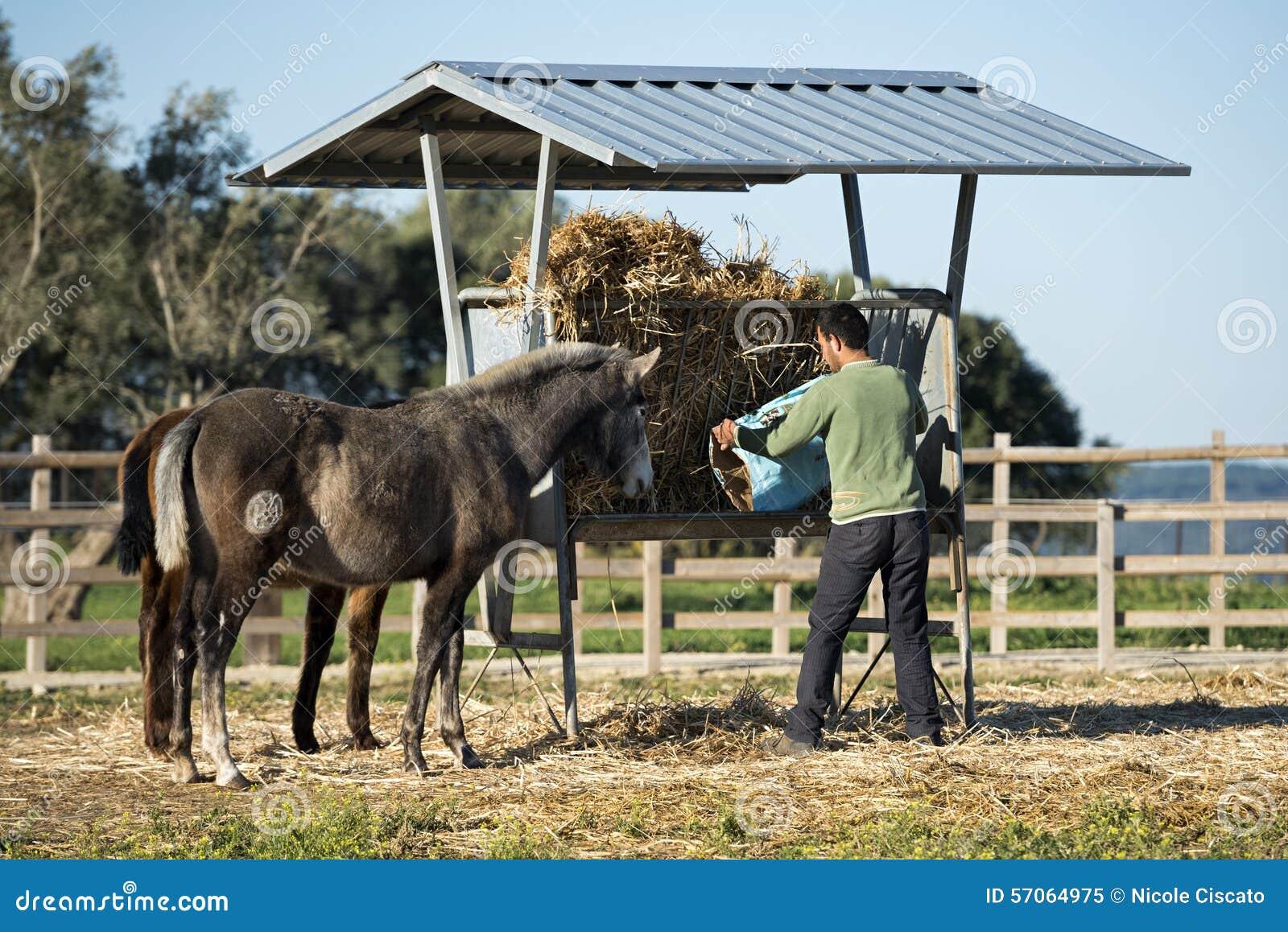 De mens geeft voedsel voor paarden