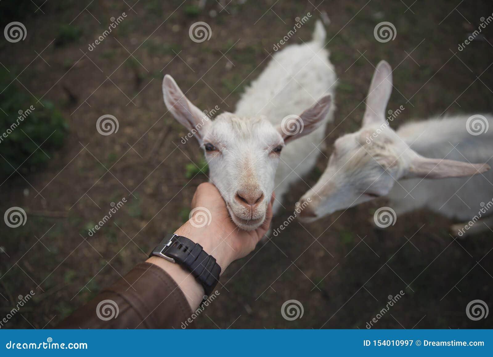 De mens streelt een witte geit op een landbouwbedrijf