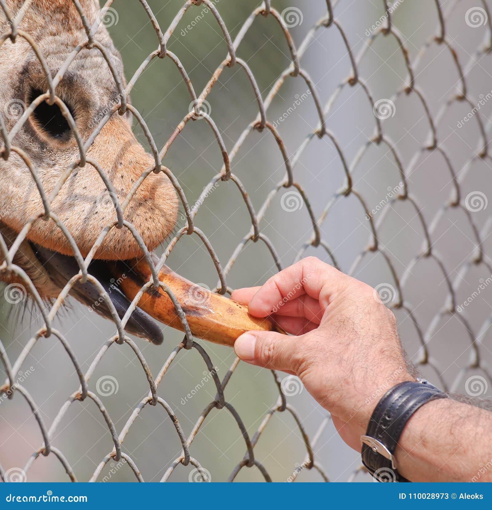 De mens voedt Afrikaanse giraf met een banaan