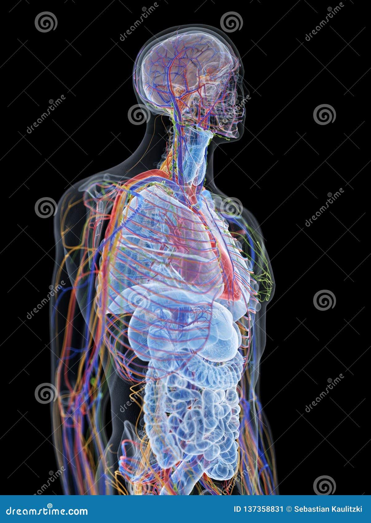 De menselijke anatomie
