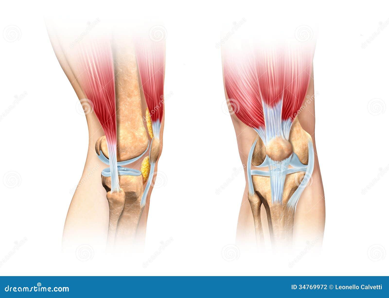 De menselijke illustratie van het knieschema. Anatomiebeeld.