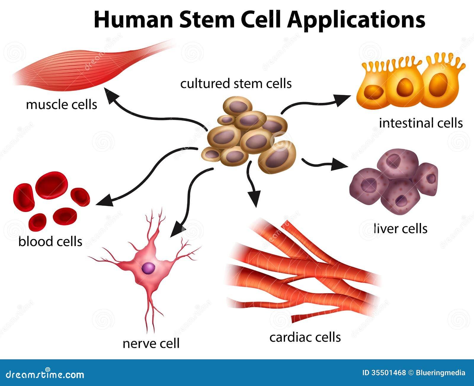 De menselijke Toepassingen van de Stamcel