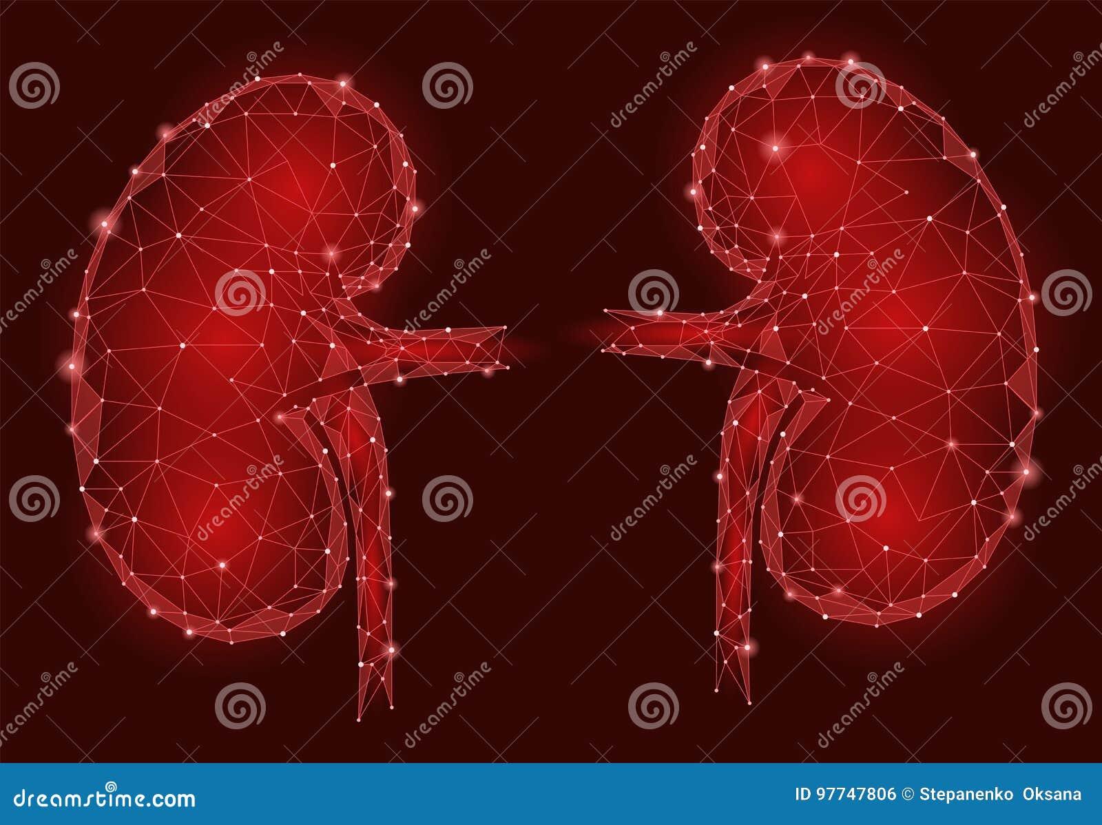 De mensen 3d laag poly geometrisch model van het nieren intern orgaan De geneeskundebehandeling van het urologiesysteem Toekomsti