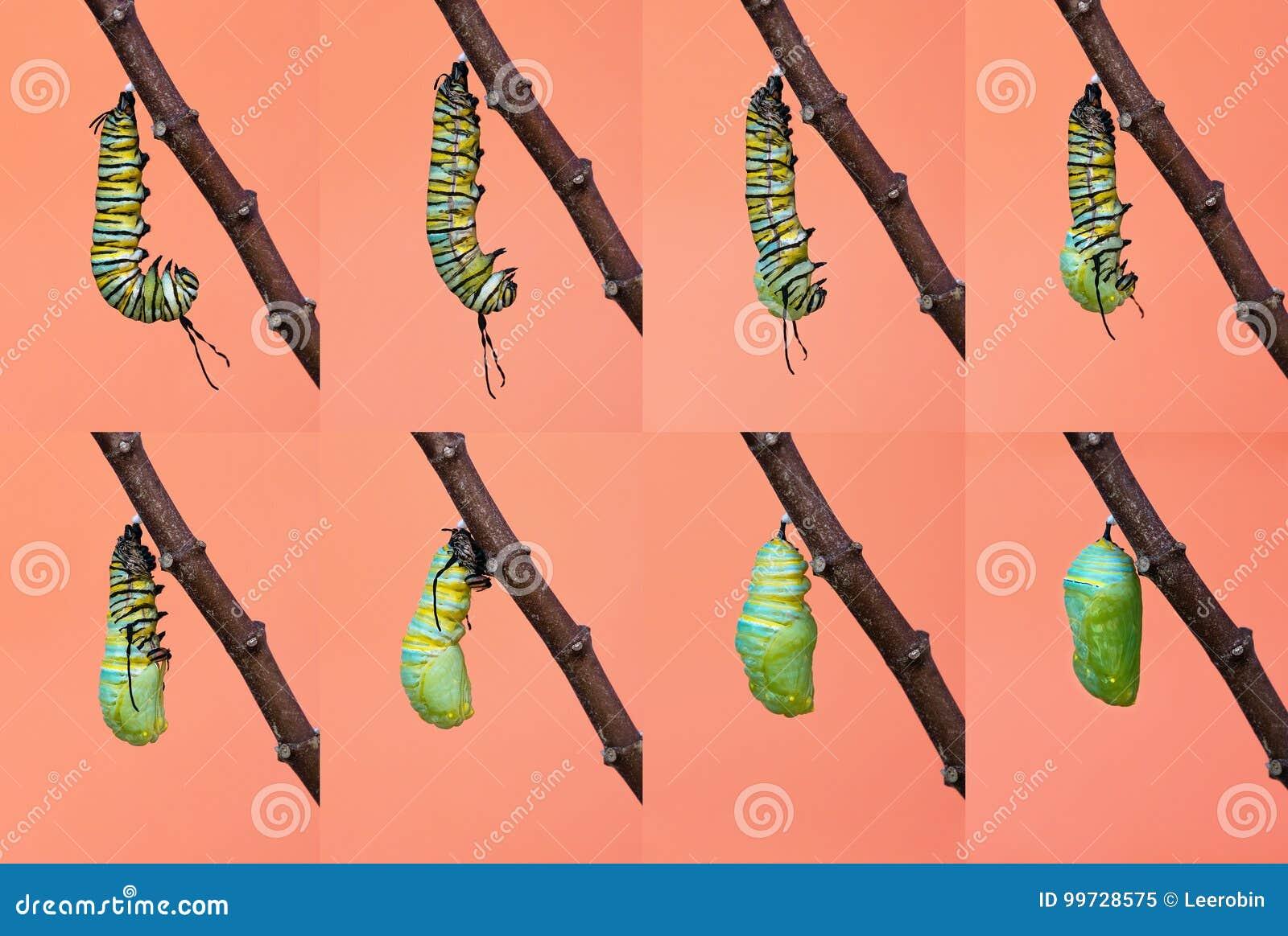 De metamorfose van de monarchvlinder van rupsband aan pop
