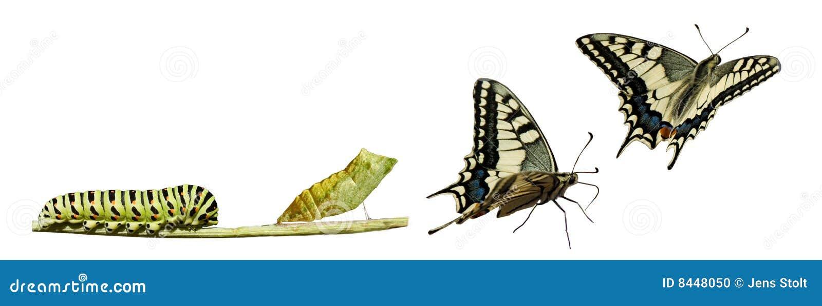 De metamorfose van Swallowtail