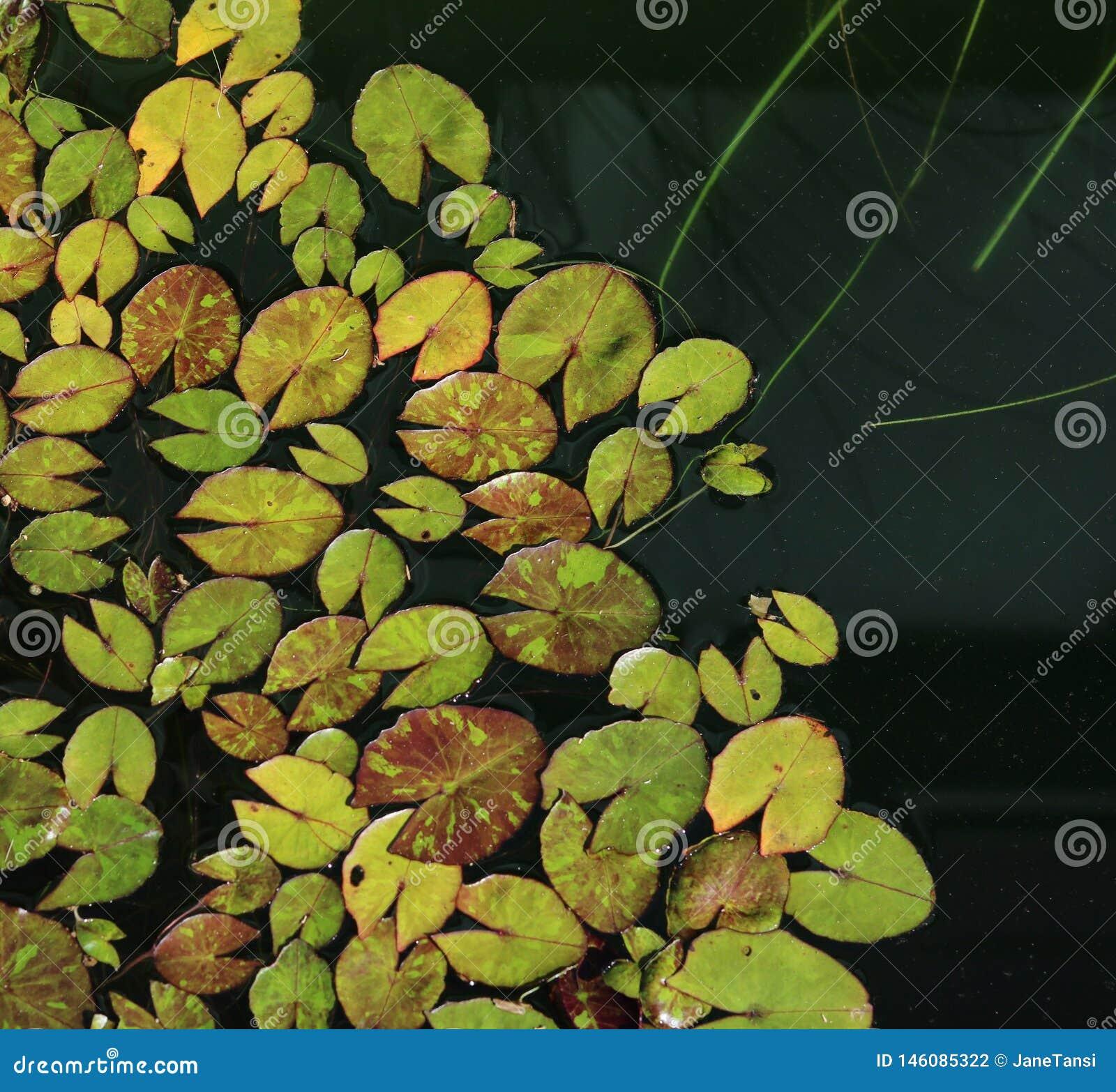 De miniatuur gevormde achtergrondafbeelding van waterleliebladeren