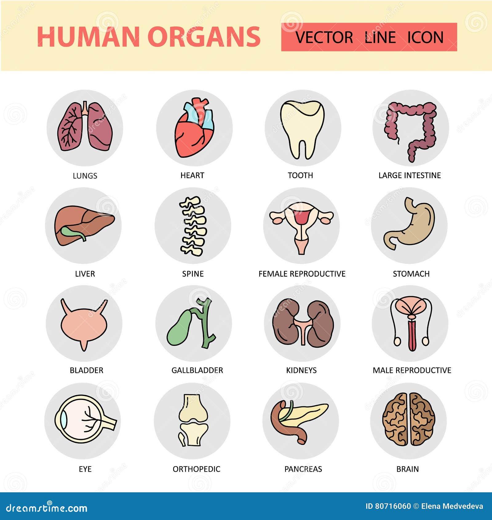 De moderne pictogrammen van de kleuren dunne lijn op de menselijke interne organen van een themageneeskunde
