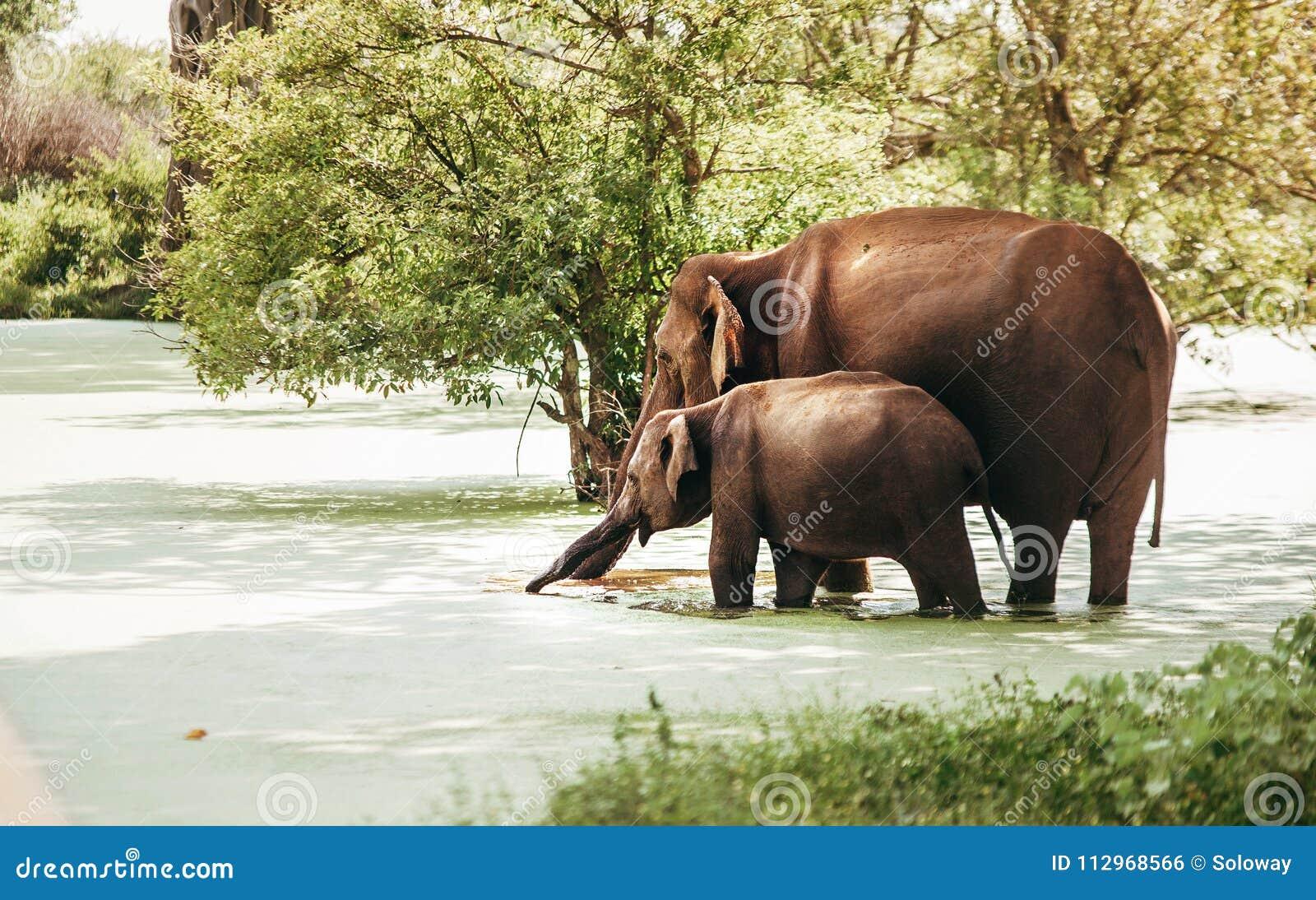 De moeder en de baby elefants drinken water van moerassige vijver in nationa