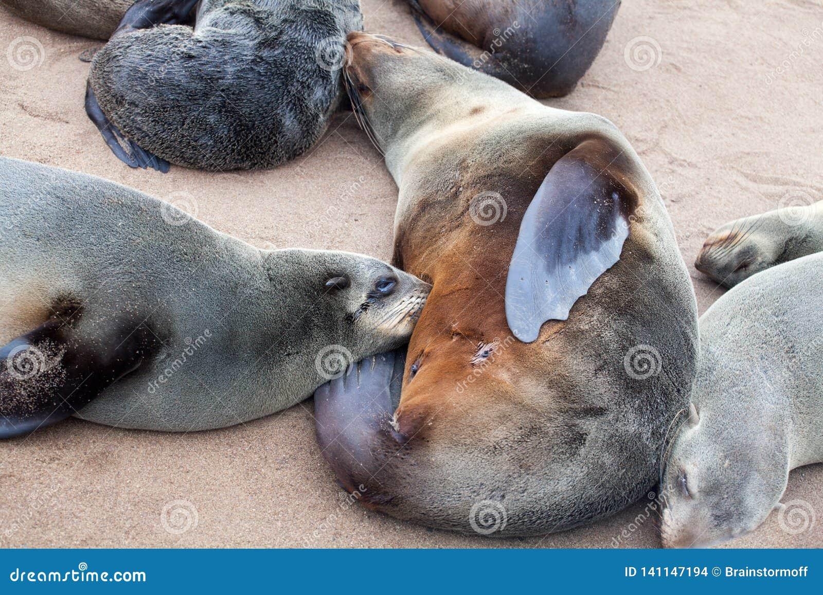 De moeder van de bontverbinding voedt haar zuigelingsbaby dichte omhooggaand, Kolonie van Eared Bruine Bontverbindingen bij Kaapk