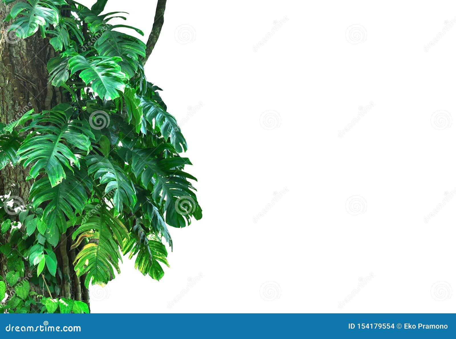 De Monsterainstallaties beklimmen grote die bomen in het onderwerpbos op witte achtergrond wordt geïsoleerd