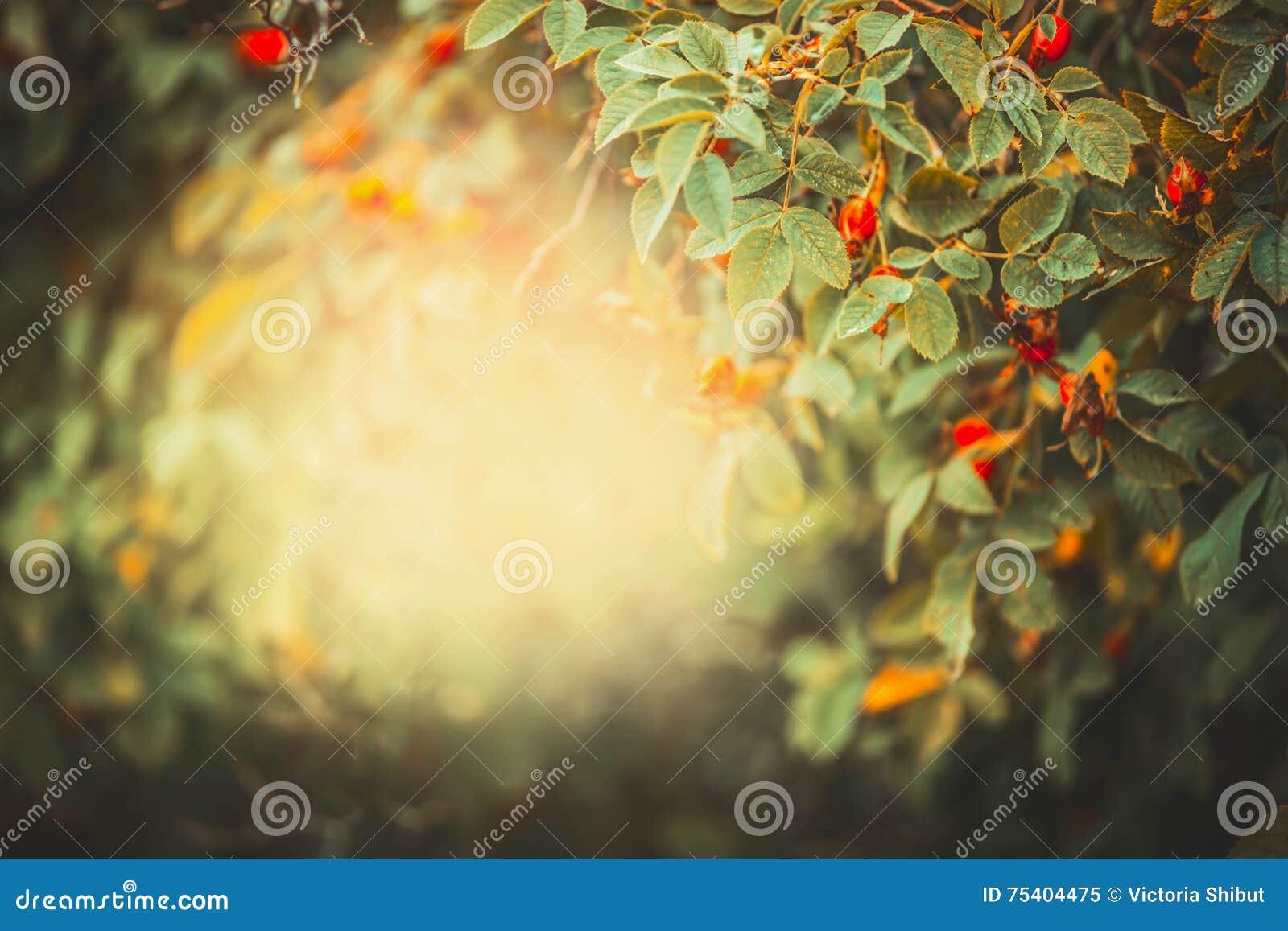 De mooie achtergrond van de de herfstaard met kader van hondrozen met rode vruchten en bessen in tuin of park bij zonsondergangli