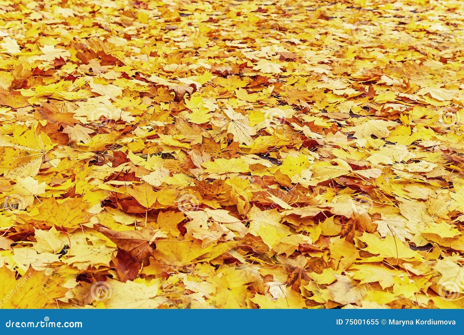 De mooie achtergrond van de herfstbladeren (textuur) Natuurlijk rood, orang-oetan en geel esdoornblad