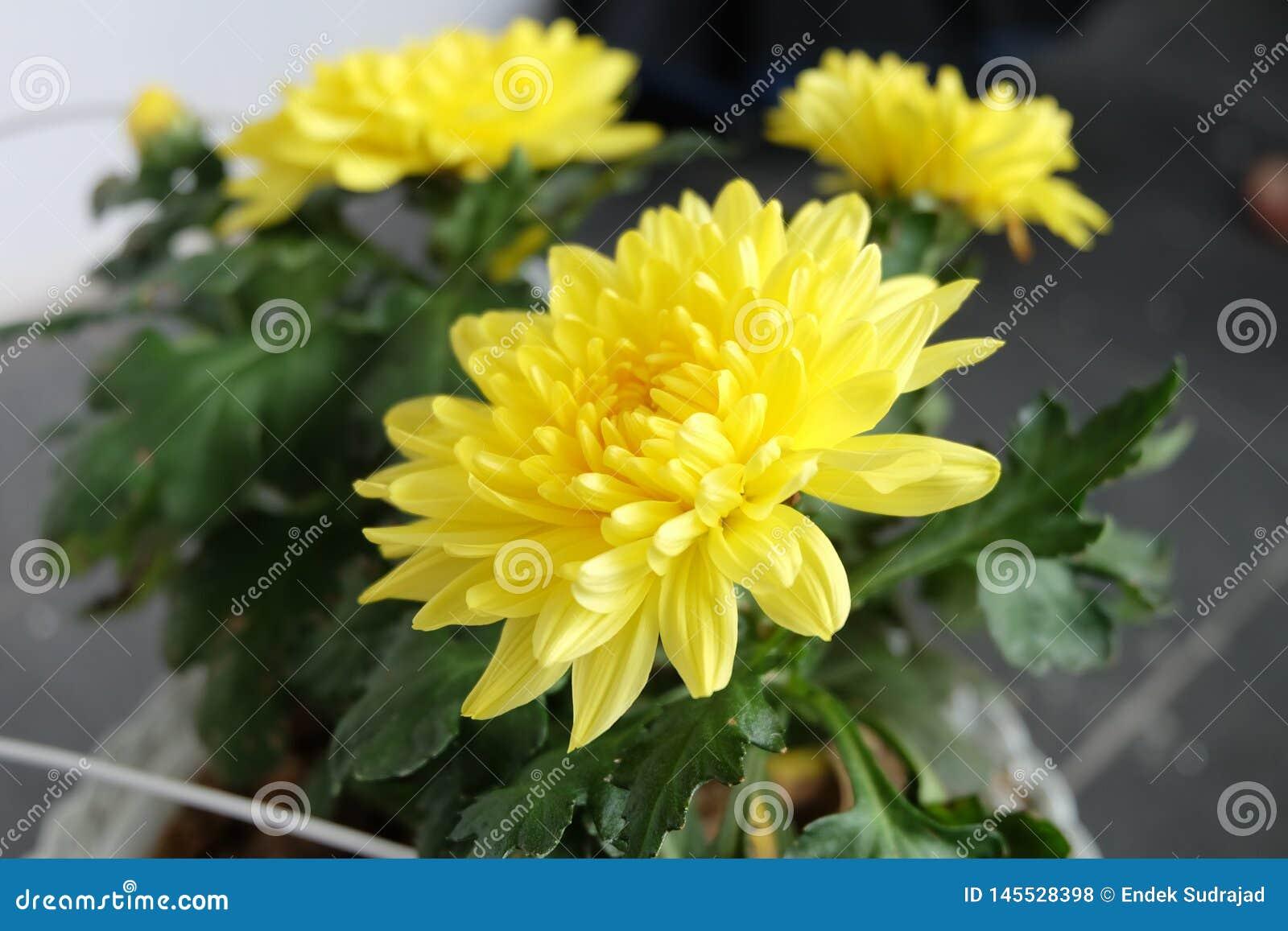 De mooie bloeiende gele bloem