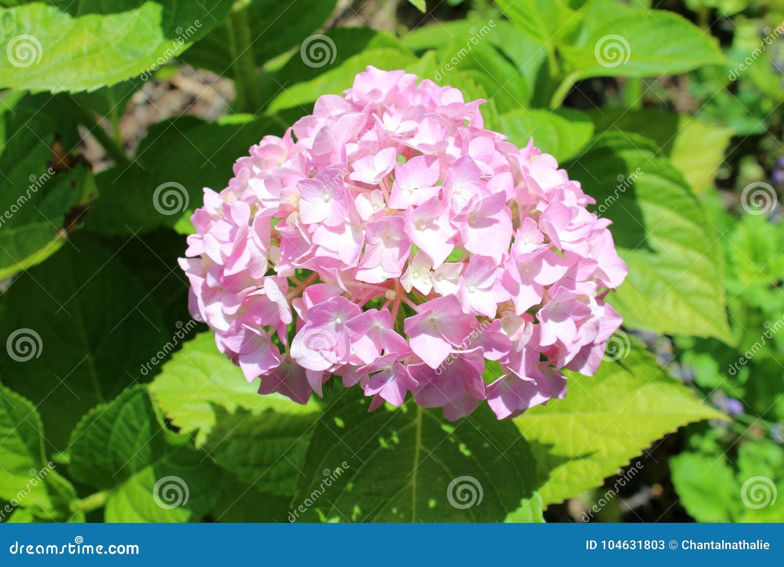 Download De Mooie Bloemen Van De Hydrangea Hortensia Stock Afbeelding - Afbeelding bestaande uit blad, gebied: 104631803