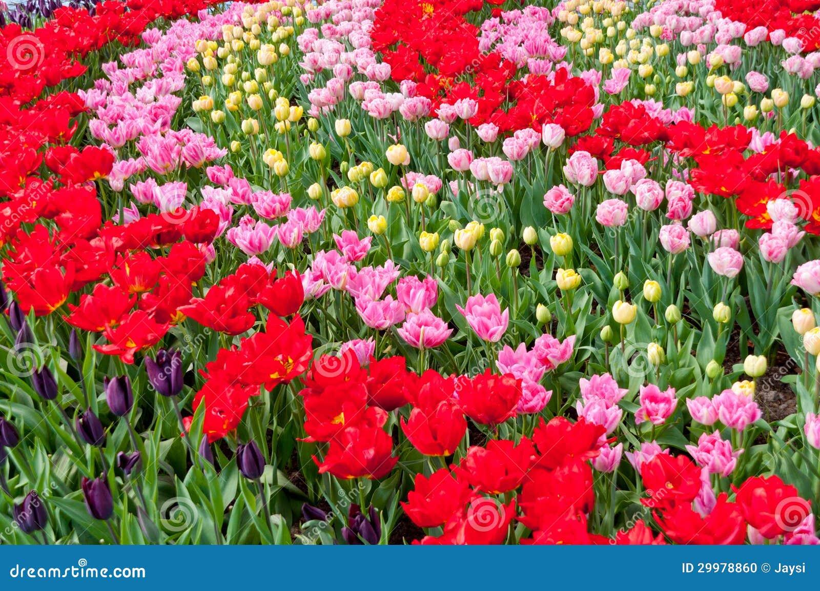 Populair De Mooie Achtergrond Van De Lente Rode En Roze Bloemen Stock Foto  #YP95