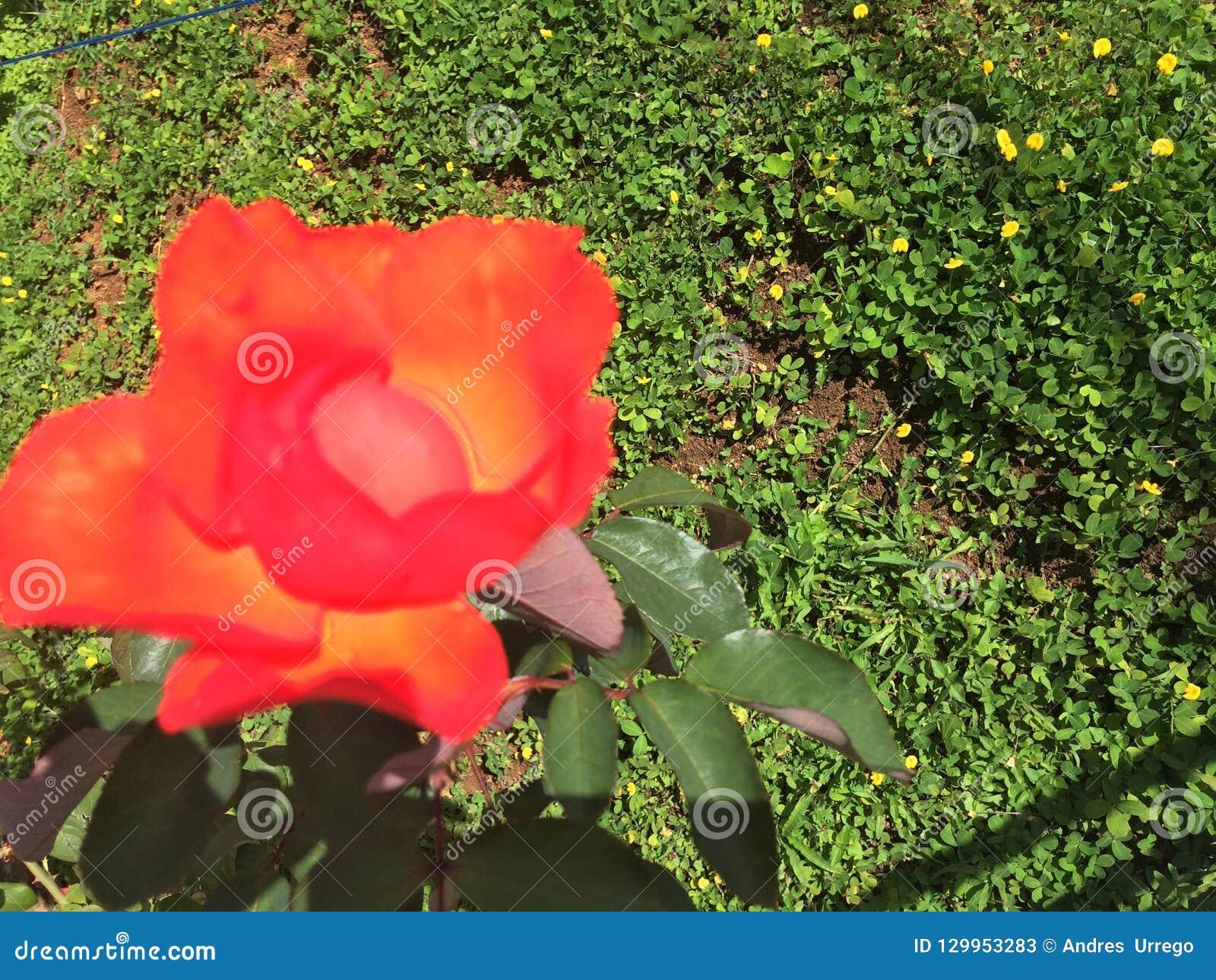 De mooie gekleurde brand nam geplant op een gebied van bloemenpinda s toe