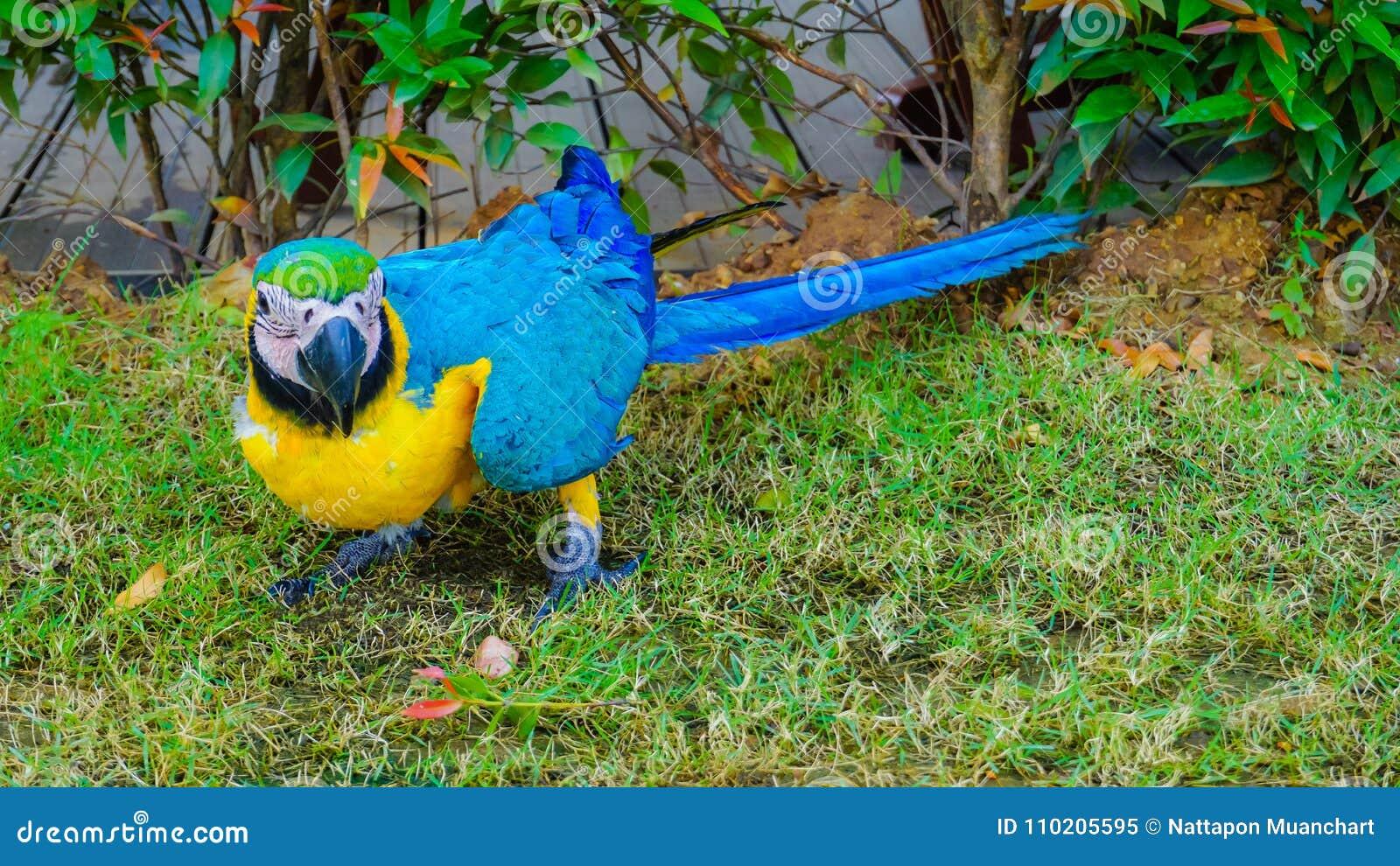 De mooie gele en blauwe vogel van de macorepapegaai