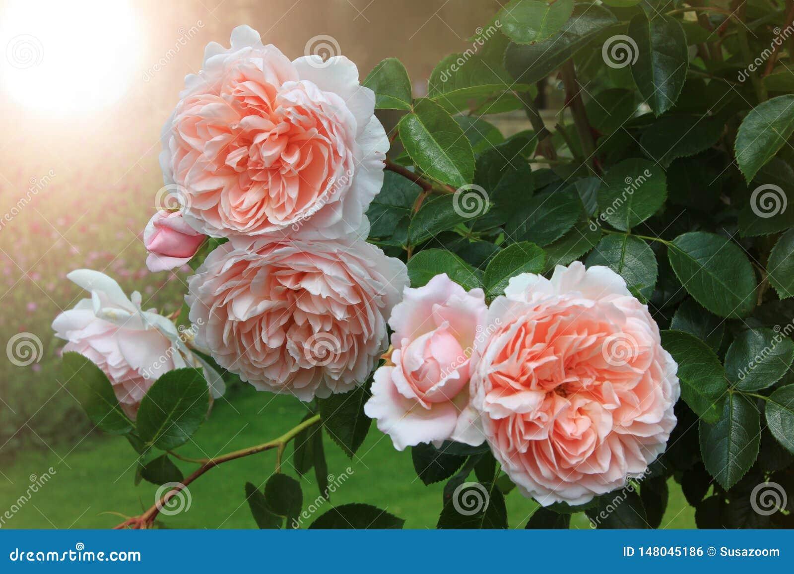 De mooie gevulde kleur van de rozen lichte abrikoos en helder licht