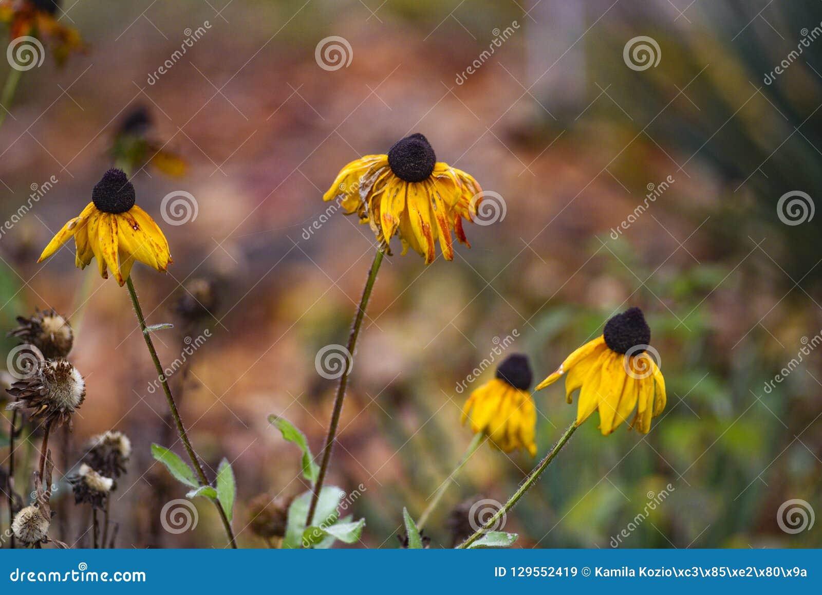 De mooie herfst coneflower in de tuin