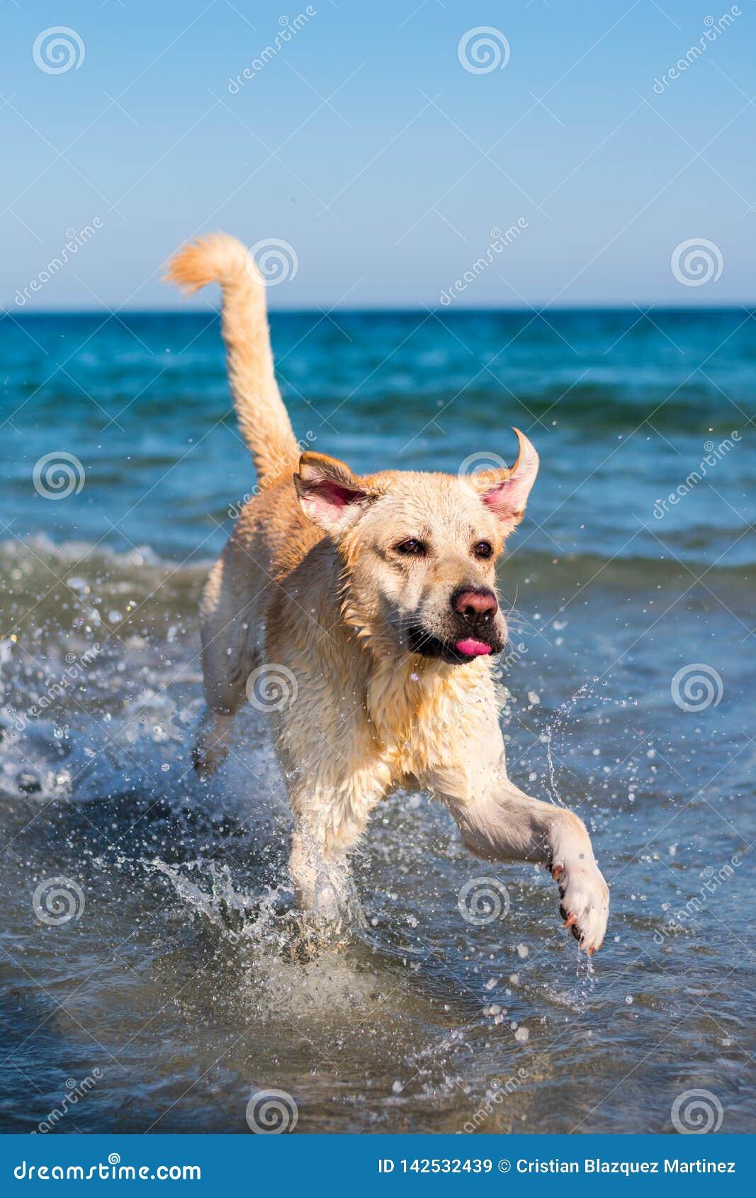 De mooie hond die van Labrador pret op het strand hebben