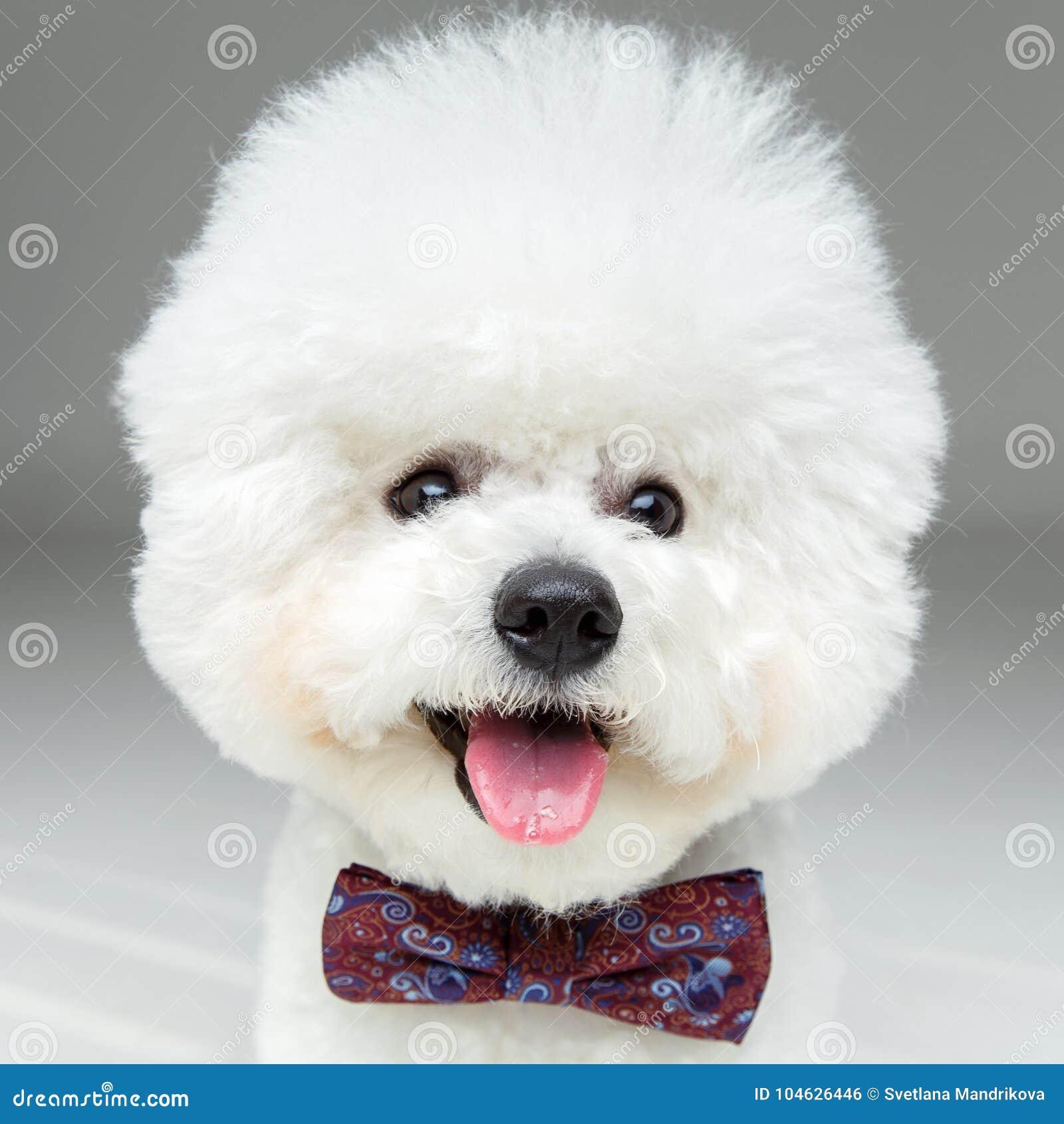 Download De Mooie Hond Van Bichonfrisee In Bowtie Stock Foto - Afbeelding bestaande uit mooi, rasecht: 104626446