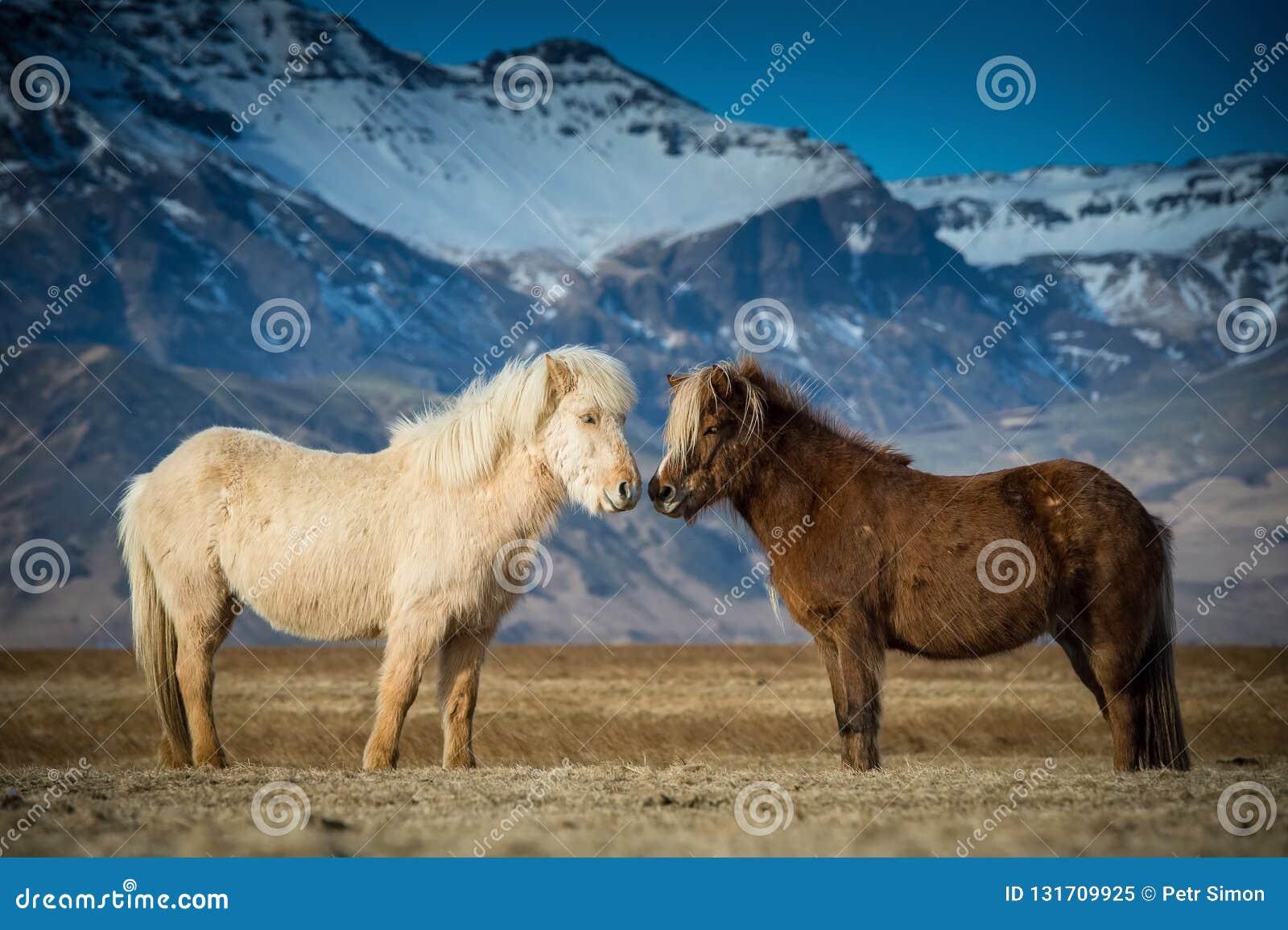 De mooie paarden tijdens vrijages