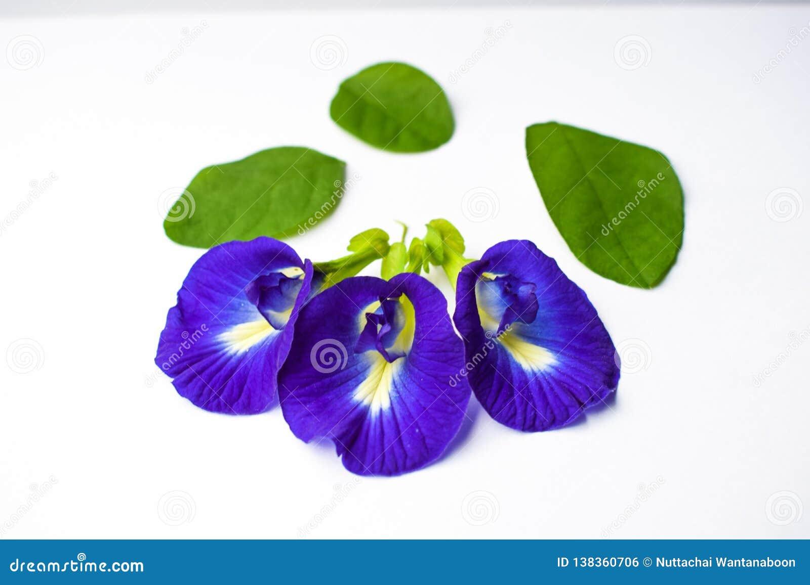 De mooie Purpere Bloem, sluit omhoog Vlinder Pea Flower op Witte Achtergrond