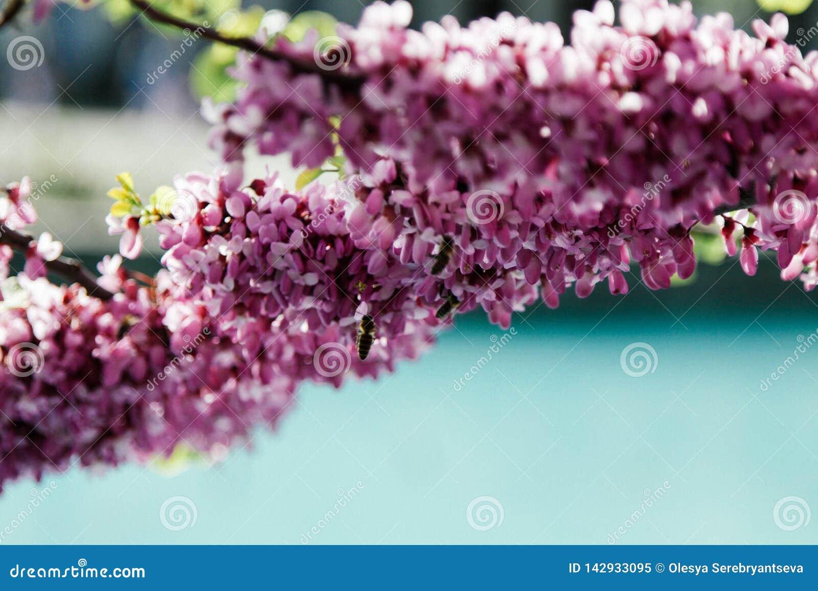 De mooie roze Chinensis bloesems van Cercis op bomen met onscherpe menings blauwe stedelijke pool