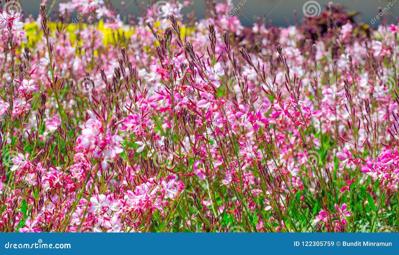 De mooie mooie roze gaurabloem of de vlinder ringt in een lentetijd bij een botanische tuin