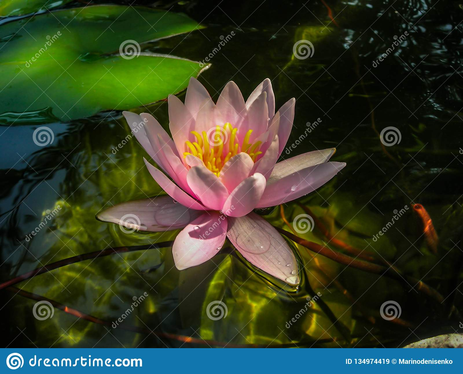 De mooie roze waterlelie of lotusbloembloem Marliacea Rosea in glashelder water met een bezinning van zon schittert bij de bodem
