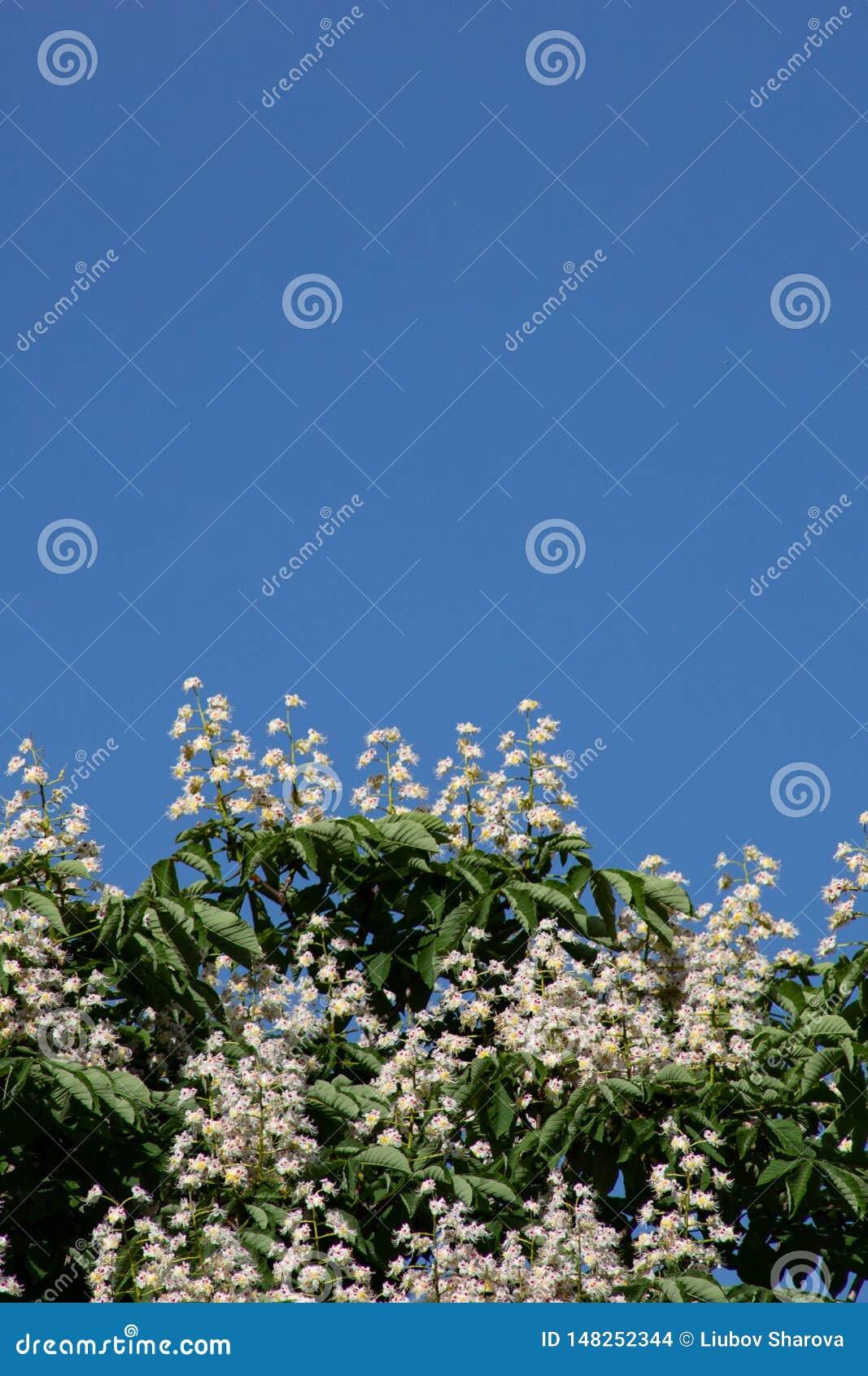 De mooie takken met witte paardekastanje bloeit en groene bladeren tegen de blauwe hemel