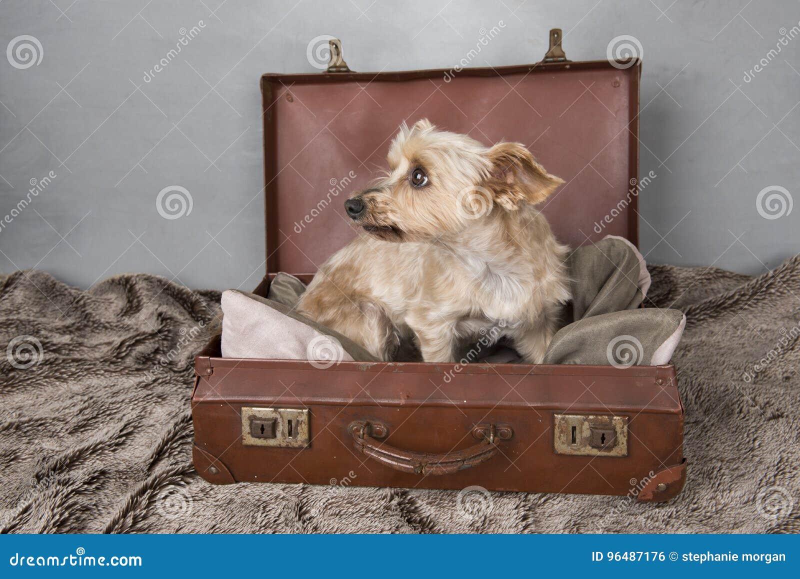 De mooie terriër van Yorkshire in een ouderwetse koffer