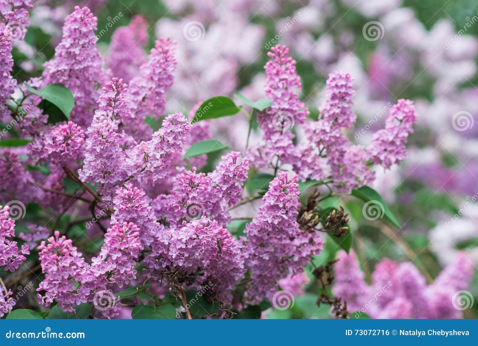 De mooie verse lilac violette bloemenachtergrond