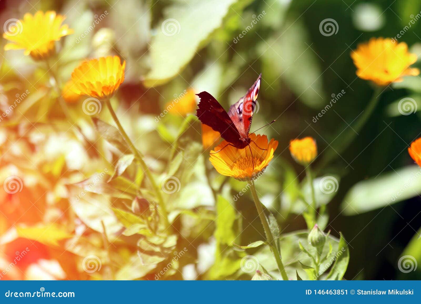 De mooie vlinder zit op goudsbloemen Calendula in dichte omhooggaand Geneeskundebloemen