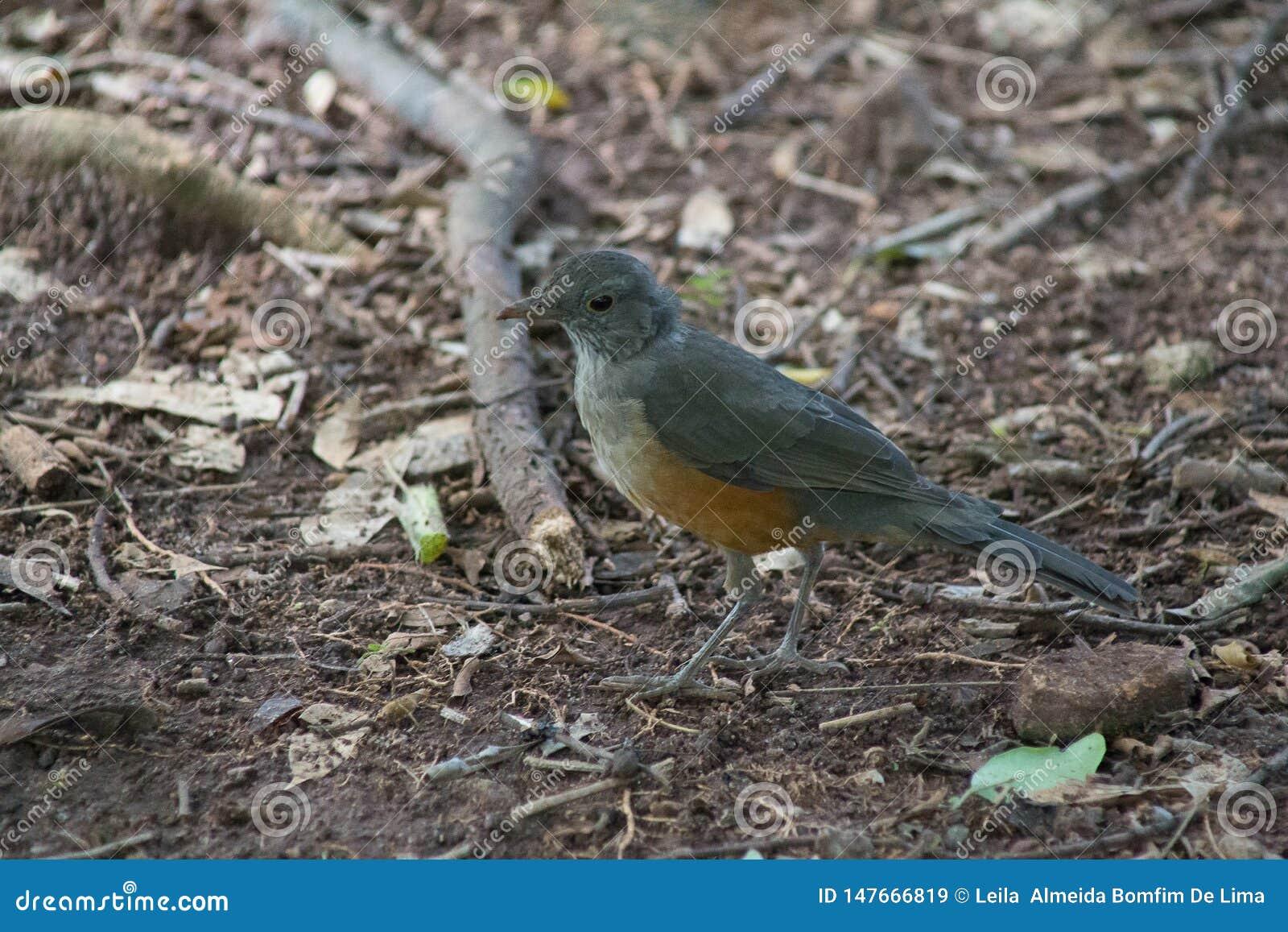 De mooie vogel die in het bos lopen het zoekt voedsel