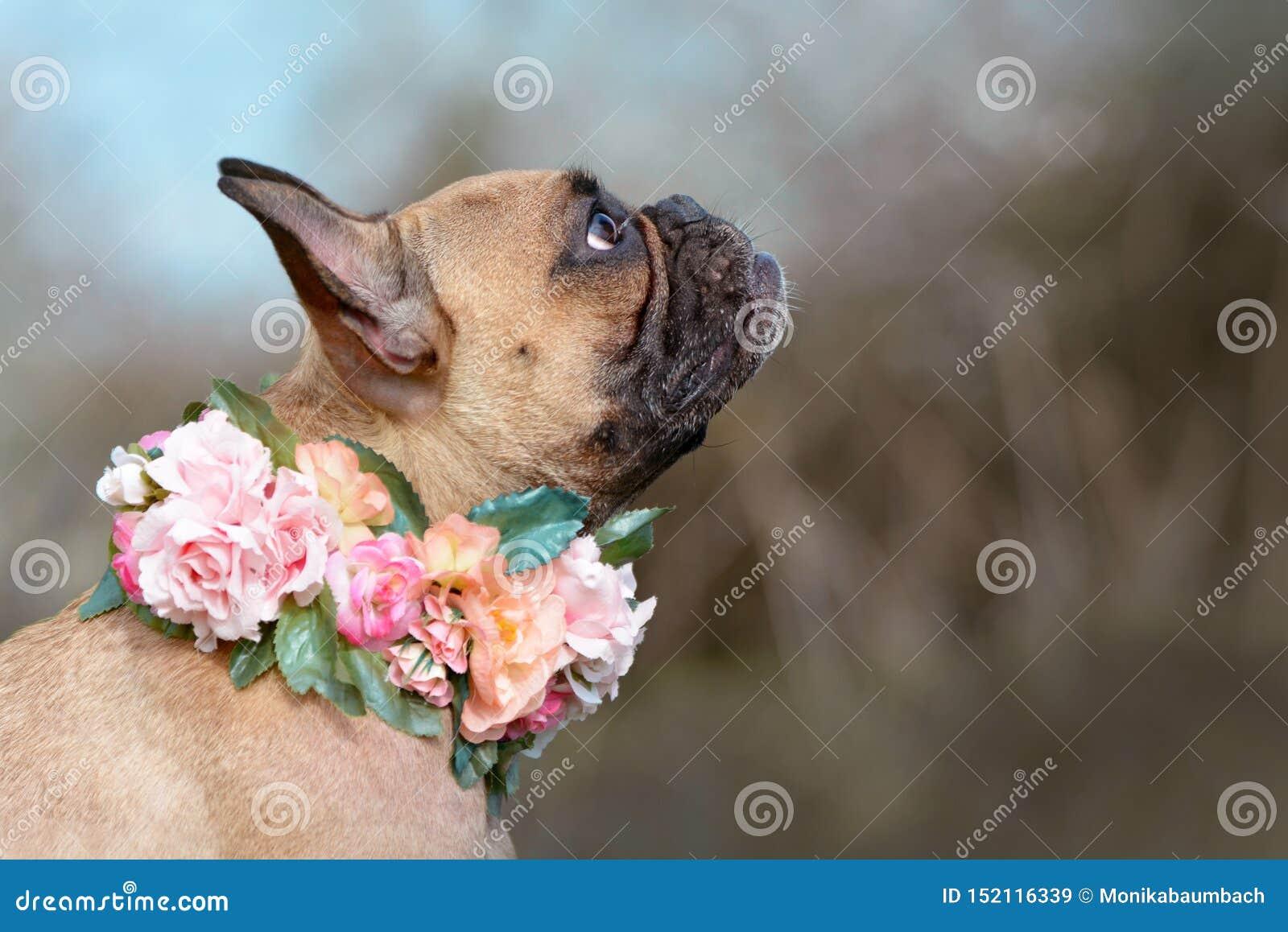 De mooie vrouwelijke hond van de fawn Franse die Buldog met een kraag van rozen en andere bloemen rond haar hals wordt gemaakt
