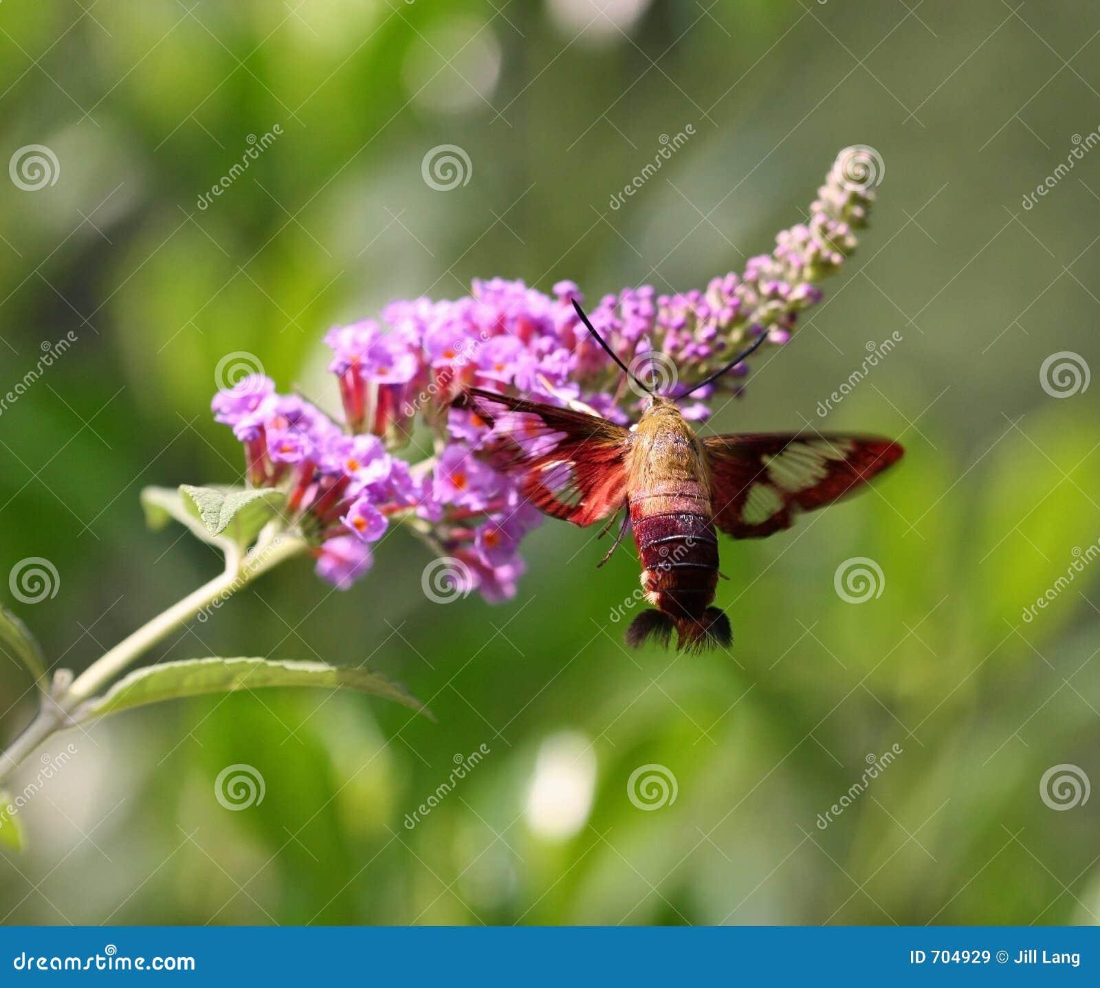 De Mot van de kolibrie
