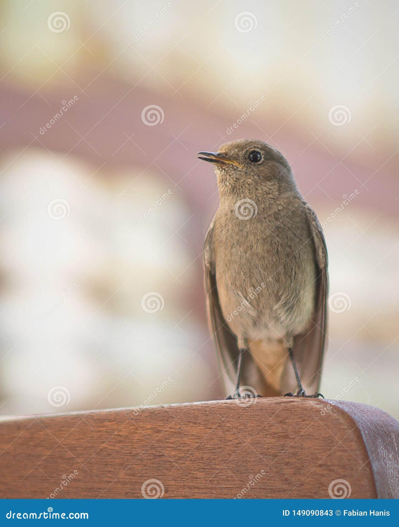 De mus die van de heldenvogel met zwart oog kijken, die zich rechtstreeks bevinden