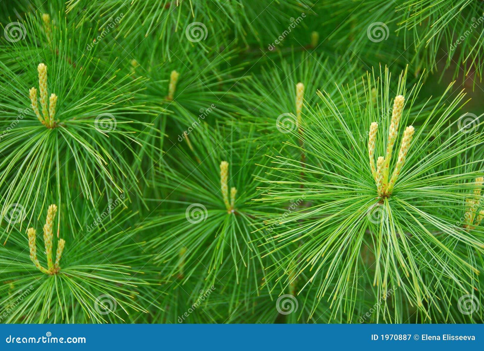 De naalden van de pijnboom
