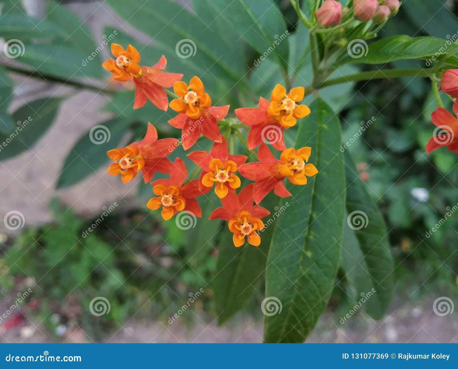 De nadrukmening van milkweed bloemen bij dag