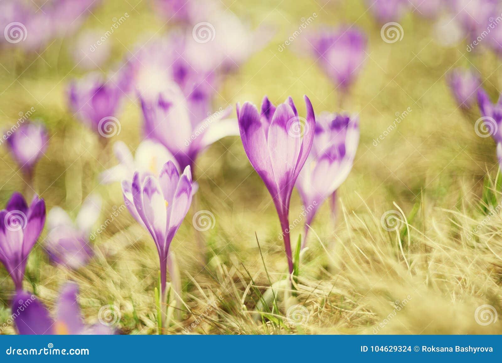Download De Nederlandse Bloemen Van De De Lentekrokus Stock Foto - Afbeelding bestaande uit schoonheid, ecologie: 104629324