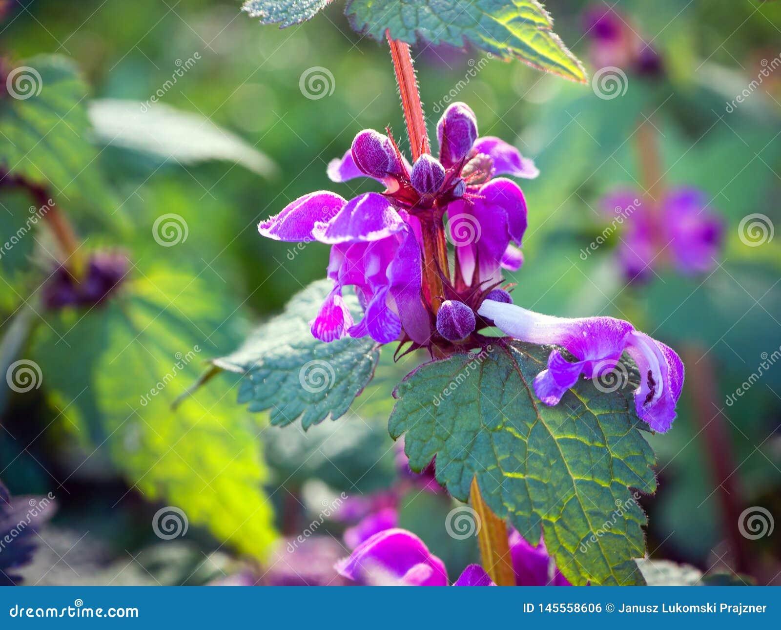 De netelbloemen kunnen mooi zijn