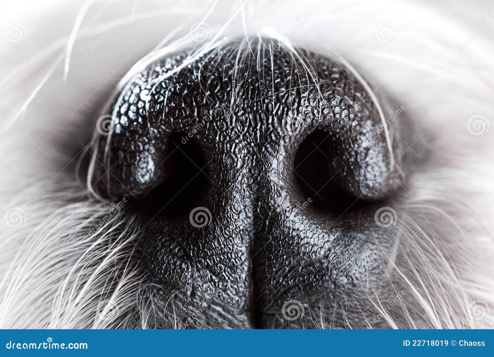 De neusclose-up van de hond
