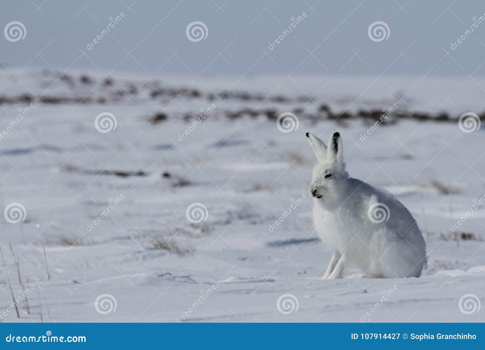 De noordpool arcticus zitting van hazenlepus op sneeuw en het afwerpen van zijn de winterlaag, Nunavut