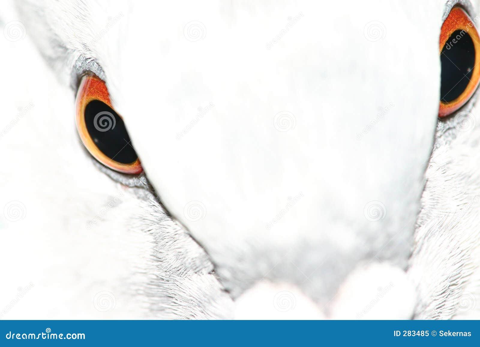 De ogen van de duif