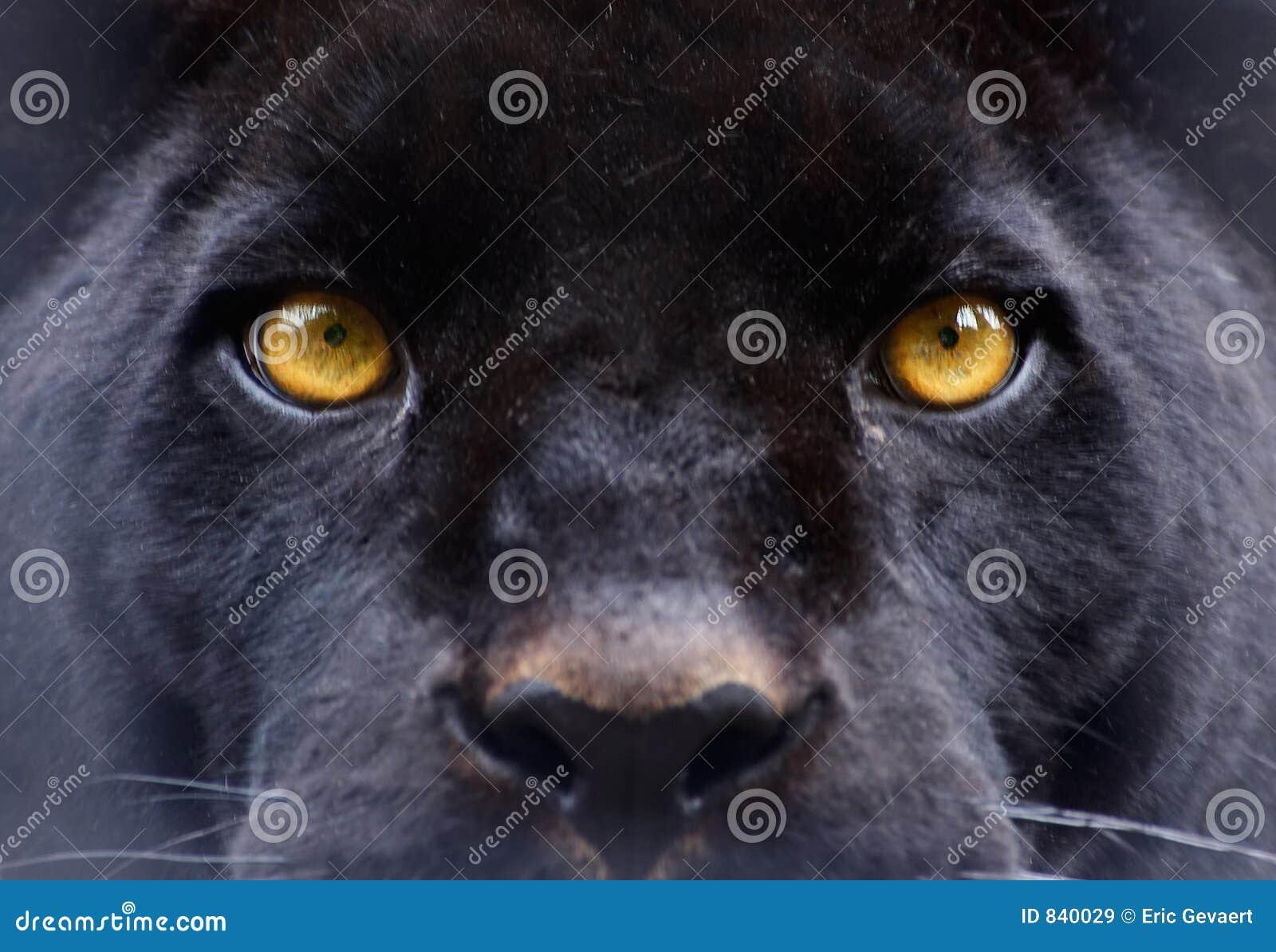 De ogen van een zwarte panter